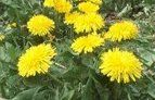Carolina Pet Supply Dandelion (organic) Taraxacum officinale 250 seeds Free Shipping - Dandelion is a very nutritious plant for grazing tortoises and reptiles. Contains a vast realm of beneficial compounds and plant carotenoids, including caffeic, linoleic, linolenic, oleic, and palmitic acids, as well as the minerals potassium, iron, silicon, magnesium, sodium, and zinc, and the vitamins A, B, C, and D. The seeds