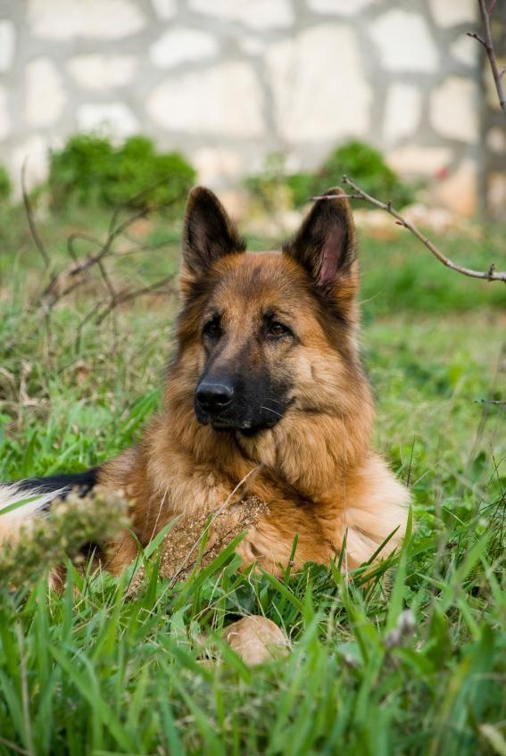 Name Ideas for German Shepherds [Slideshow]