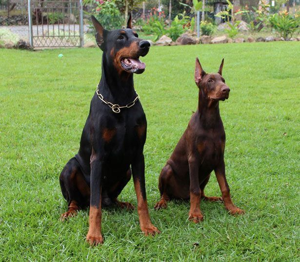 Doberman Pinscher Large Breed Dog Puppy Dogbarkingvideo Dog