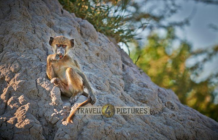 young Chacma baboon, Papio ursinus, Chitabe, Okavango Delta, Botswana, Africa  /  junger Baerenpavian oder Tschakma, Papio ursinus, Chitabe, Okavangodelta, Botswana, Botsuana, Afrika   / copyright Juergen Ritterbach