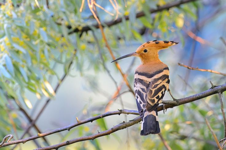 Hoopoe House is named after the Hoopoe bird which you can regularly see in the grounds of Casa Flor de Sal, Algarve, Portugal