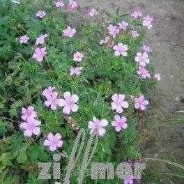Geranium oxonianum 'Betty Catchpole' - Storkenæb