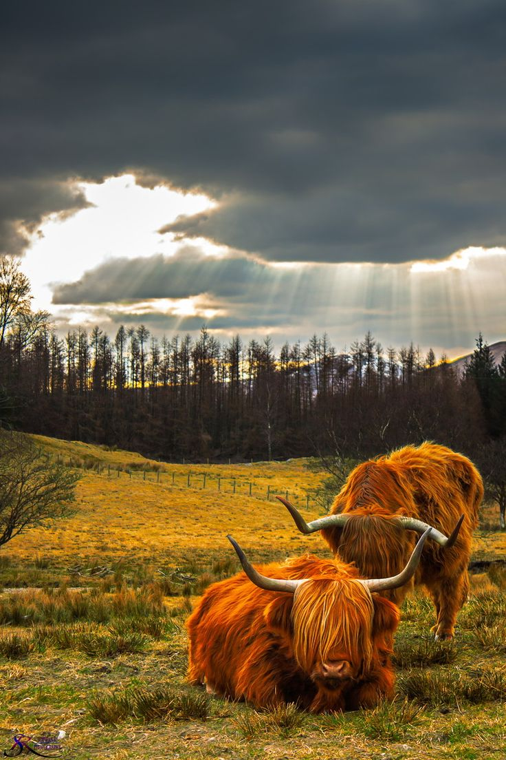 HELL YES! Highland Cows in Scotland--wish we were going to the Highlands! They are so cute!