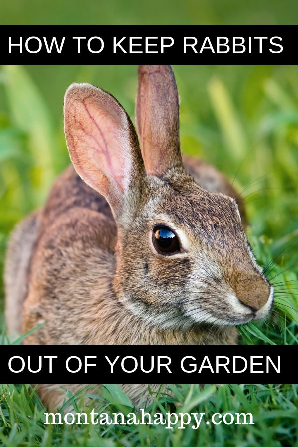 How to Keep Rabbits Out of Your Garden Naturally will give ...