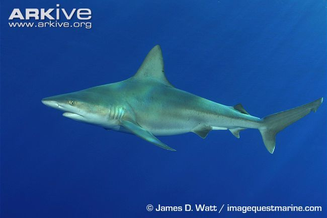 "The most distinctive feature of this stocky, grey shark is its huge dorsal fin, which increases its stability as it cruises the sea bottom in coastal areas. The sandbar shark (Carcharhinus plumbeus) belongs to the genus Carcharhinus, a word derived from the Greek ""karcharos"" meaning sharpen and ""rhinos"" meaning nose, although this species has a fairly rounded snout."