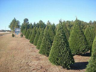 10 tips to start a christmas tree farm to make money - Starting A Christmas Tree Farm