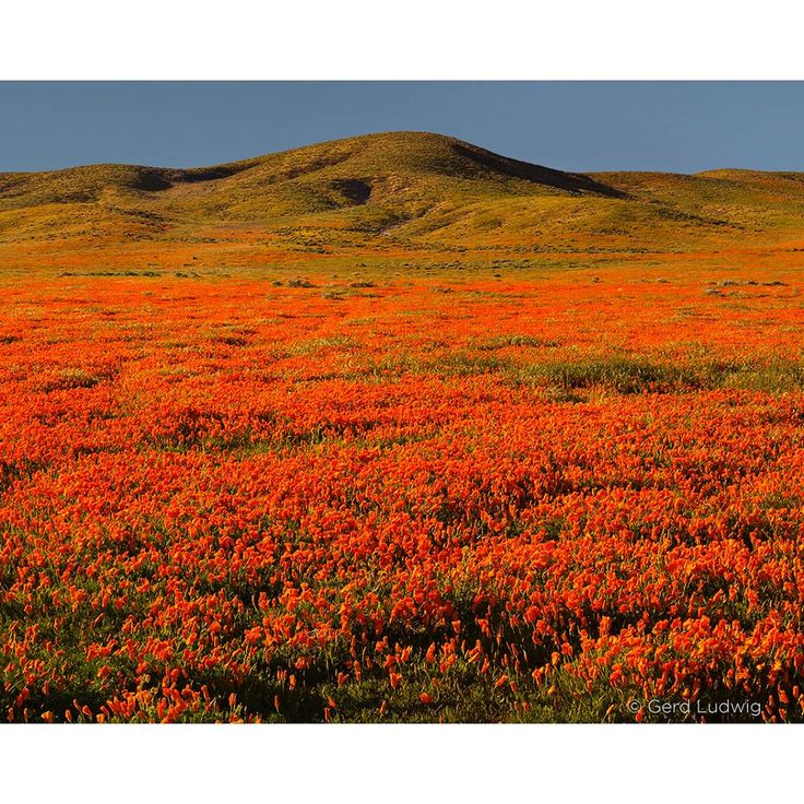 Photo by @gerdludwig After a spectacular wildflower season, the Antelope Valley California Poppy Reserve Center in the Mojave Desert closed its doors, scheduled to reopen in February 2018. Here is a selection of 4 images I have taken during short trips to Antelope Valley last month. Due to the heavy precipitation during the rainy season, the poppy bloom blanketed the rolling desert hills of the valley but often closed early as a result of cold winds. You can see additional photographs from…