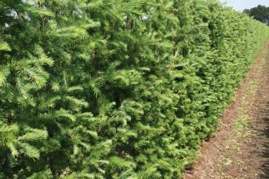 Japansk lærk   Japansk lærk (Larix kaempferi) er et løvfældende nåletræ med en bred, kegleformet og meget åben krone. Grenene er vandret udstående, mens de nederste, tungere grene ofte er nedbøjede. Dette nåletræ vokser meget hurtigt i begyndelsen, men væksten bliver langsommere med alderen.