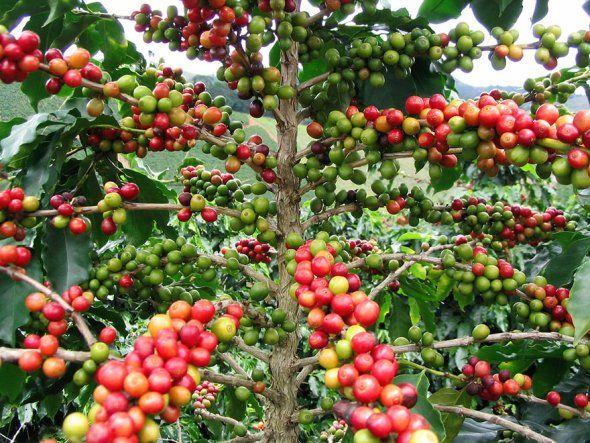 Black pepper tree | Foods | Pinterest