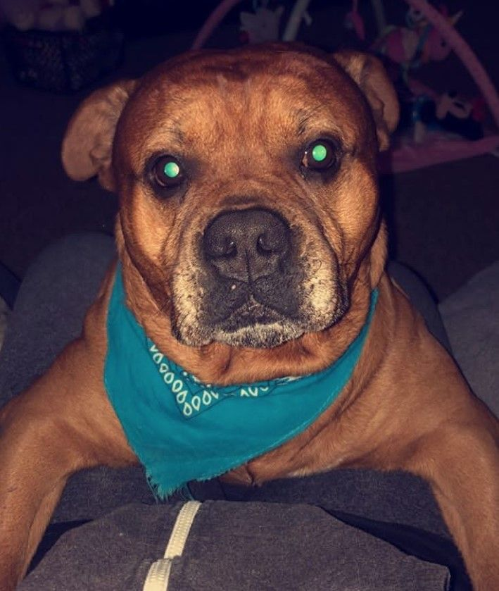 38 Dogs Mixed With Boxer Dogs Dog Mixes American Staffordshire