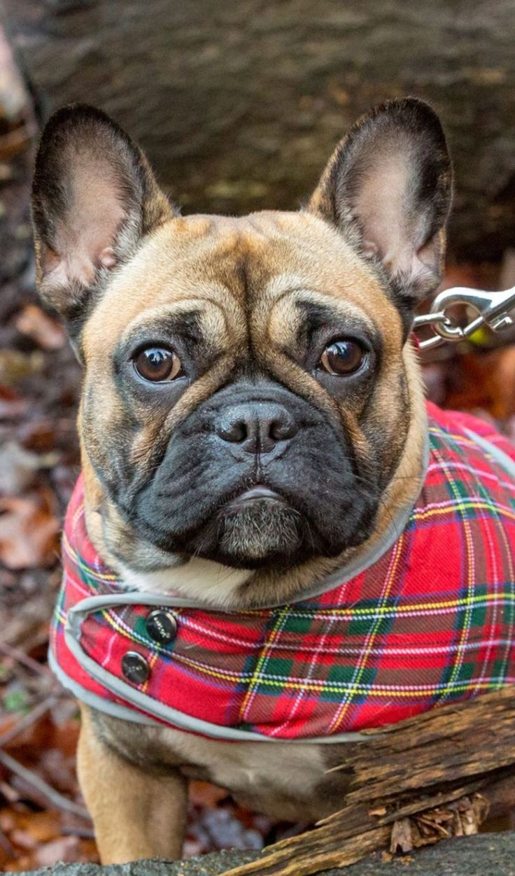 French bulldog puppy dog andy cooper photography french
