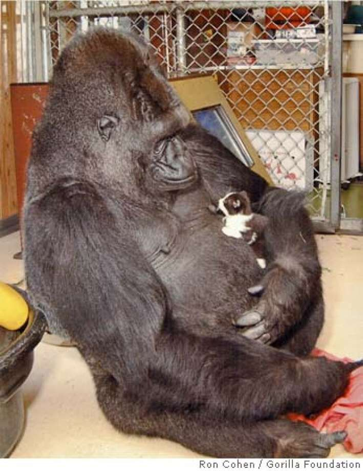SAN MATEO COUNTY / Gorilla Foundation rocked by breast display lawsuit / Former employees say they were told t