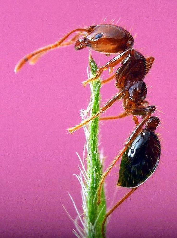 más de 25 ideas increíbles sobre plaga de hormigas en pinterest