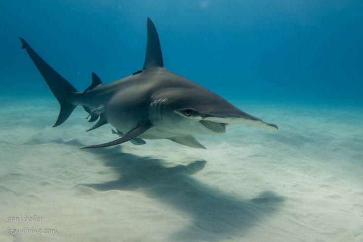 The great hammerhead sharks of Bimini