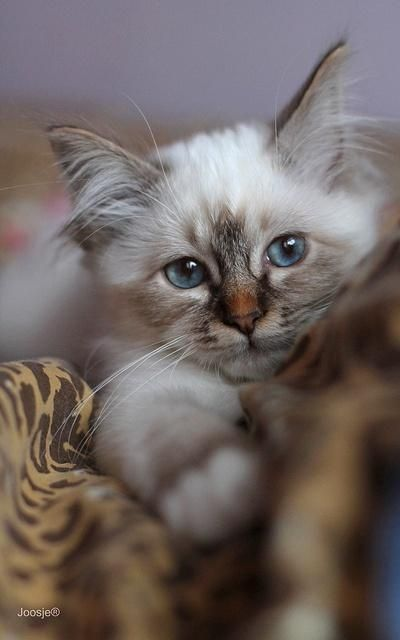 lynx point kitten / Kittens