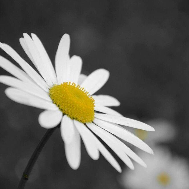 Daisy wheel