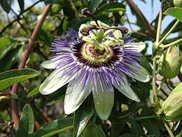Passiflora caerulea, comúnmente llamada mburucuyá, burucuyá (nombres derivados del guaraní), pasionaria, flor de la pasión o pasionaria azul...
