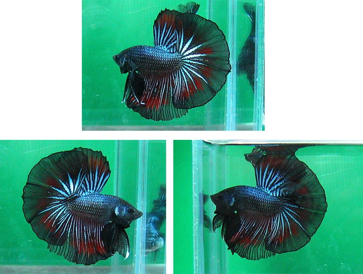 Giant betta fish fish pinterest betta fish betta for Giant betta fish for sale