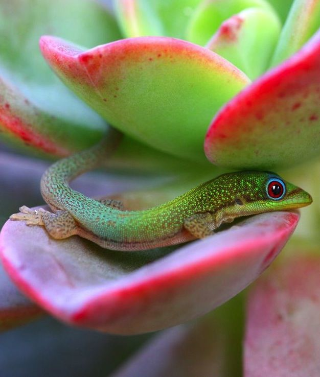 Madagascar Day Gecko, Maui by Lauren Hogan.