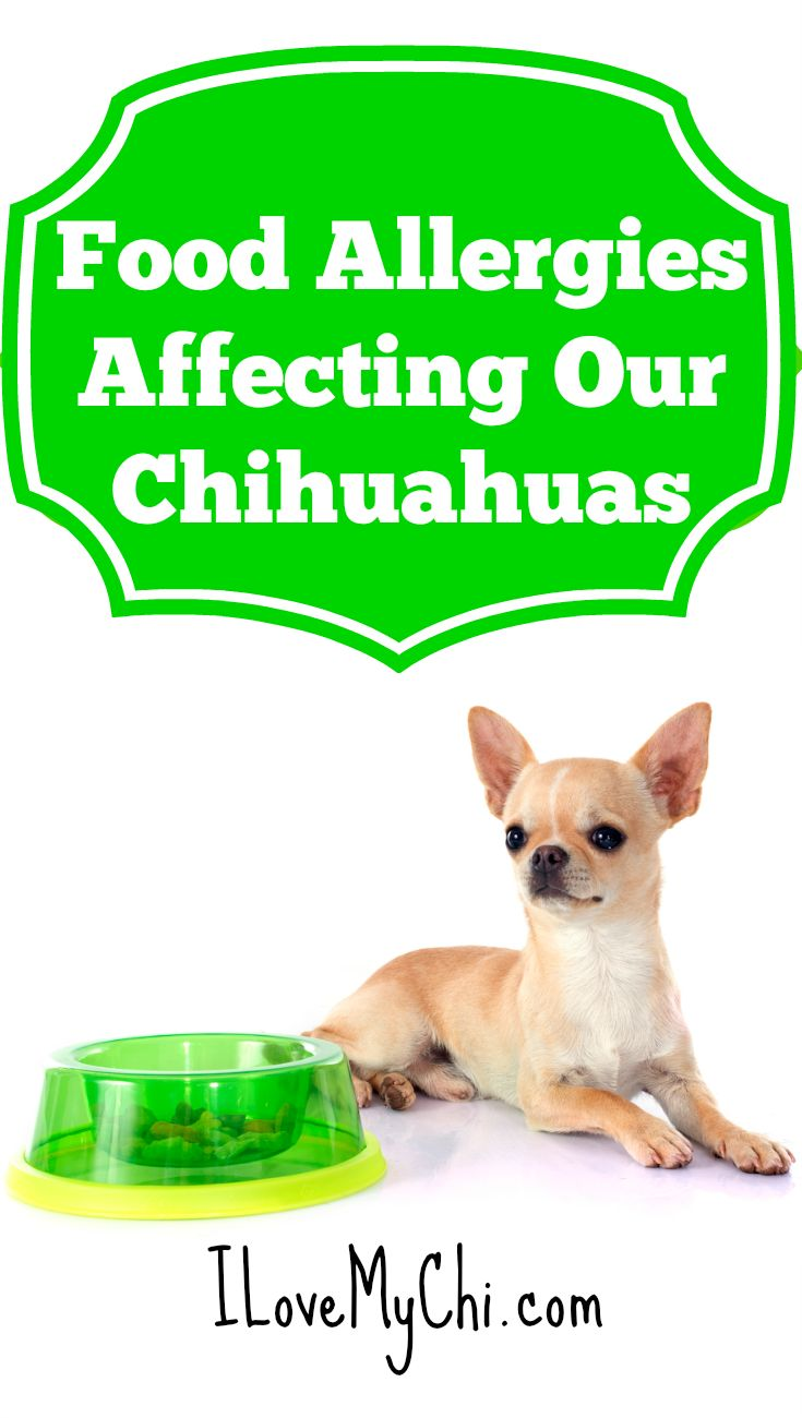 Food allergies affecting our chihuahuas dog food