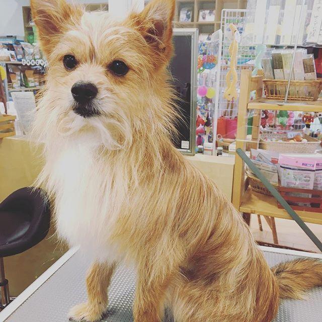 . シャンプーday 今日も怪獣シリマルダシに してやりました(=´∀`)人(´∀`=) . 保護犬カフェ#出身#保護犬#ミックス犬#ミックス犬同好会 #ヨークシャーテリア#ポメラニアン#ミックス#なのかな#dog#犬#愛犬#テリアミックス#僕の名は#こっぺぱん#こっぺぱんまん#dog#dogstagram#ポメキー#シャンプー#shampoo #カット