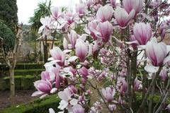 La magnolia