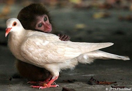 They're an odd couple in every sense but a monkey and a pigeon have become inseparable at an animal sanctuary in China.    The 12-week-old macaque - who was abandoned by his mother - was close to death when it was rescued on Neilingding Island, in Goangdong Province.    After being taken to an animal hospital his health began to improve but he seemed spiritless - until he developed a friendship with a white pigeon.