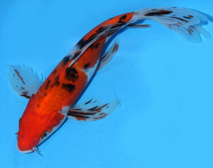 Live koi fish 9 10 sanke butterfly long fin koibay for Live koi fish