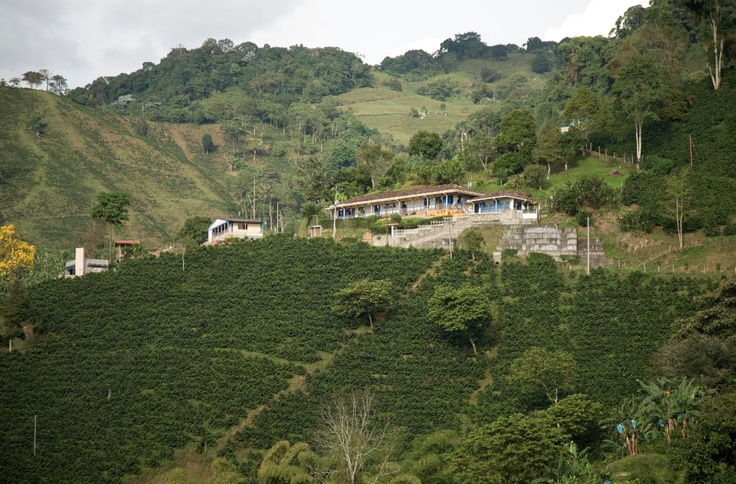 Coffee Crops in Buenavista- Quindío, Coffee from this part of Colombia has sensations of varying intensity, with hight acidity and full body. http://colombiancoffeehub.com/origin#post815