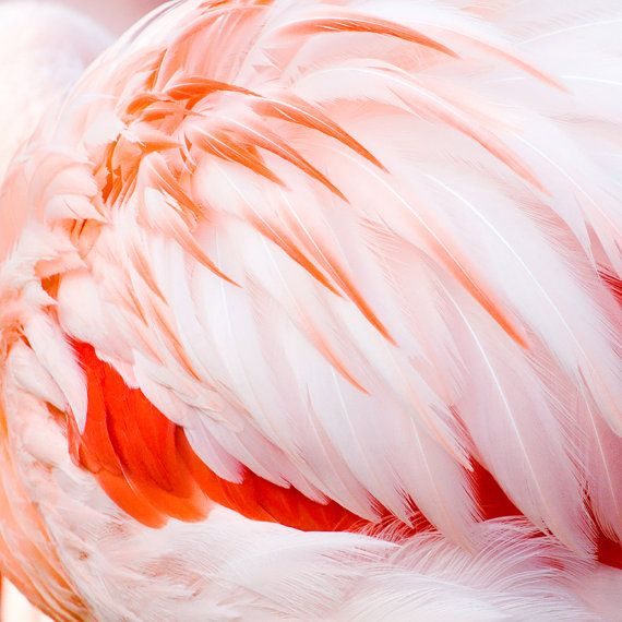 Pink Flamingo Feathers, fine art square photo print, 8x8 10x10 12x12 16x16 20x20 nature photography, bird picture, large canvas wall decor
