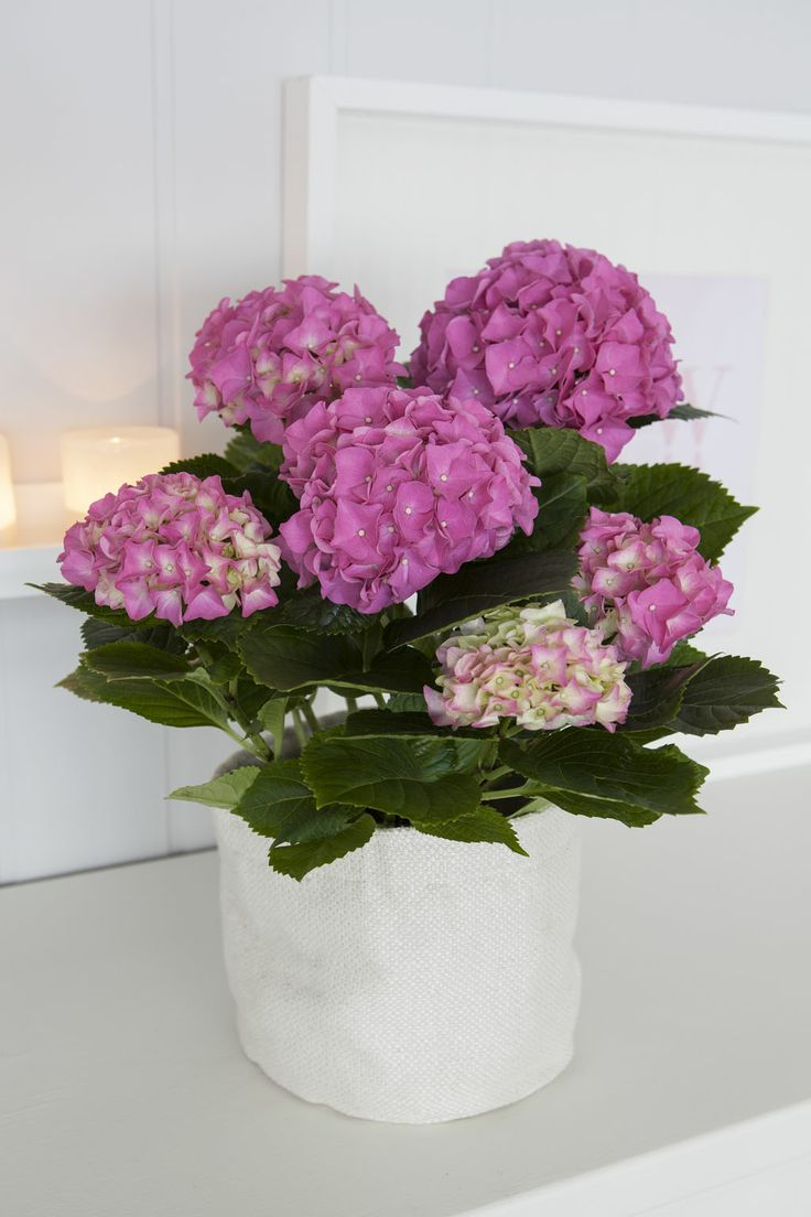 Hortensia i grow-in selvvanningsbag: http://www.mestergronn.no/blogg/grow-in-potter-i-nye-farger/