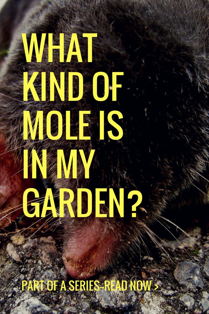 For the next few weeks, I will be blogging about all 7 species of moles in North America. One of the first questions that people have upon finding a mole in th