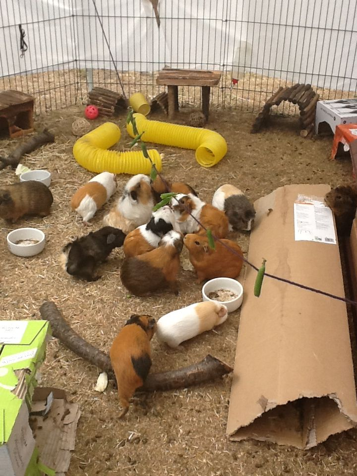 grub omlet for guinea pig keeping pet chicken mmm drinkers feeders accessories glug feeder coops shop and green chickens