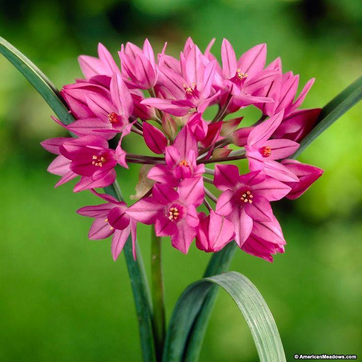 12 best garden 2018 images on pinterest allium flowers flower allium oreophilum mightylinksfo Image collections