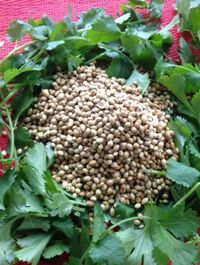 Coriander/Cilantro/ Herb and Spice All in One