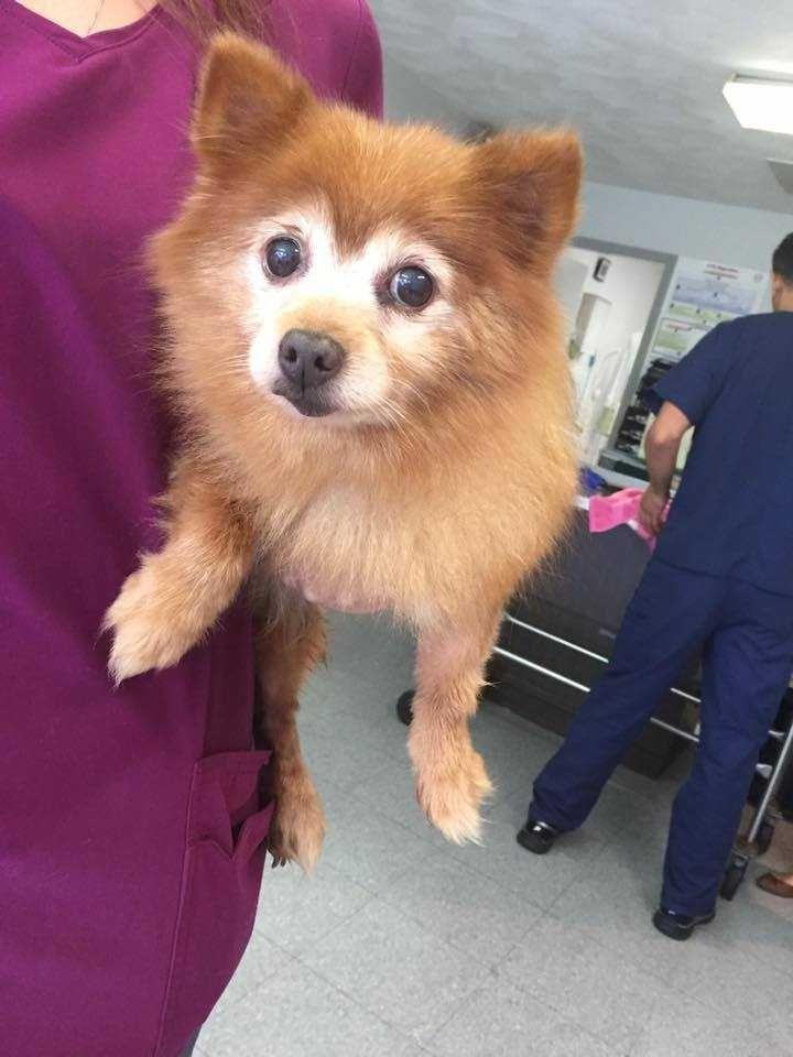 Pomeranian dog for Adoption in Ardsley, NY. ADN-669848 on PuppyFinder.com Gender: Female. Age: Senior