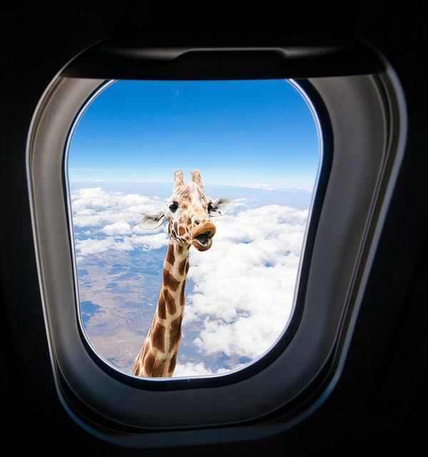Giraffe Looking Through Airplane Window Giraffe Pictures Giraffe Funny Animal Memes Iphone xs jumbo jets wallpaper