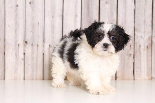 Zuchon puppy for sale in MOUNT VERNON, OH. ADN-43844 on PuppyFinder.com Gender: Female. Age: 9 Weeks Old
