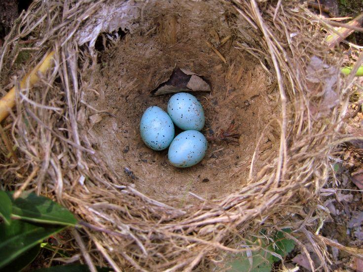 hnízdo drozda