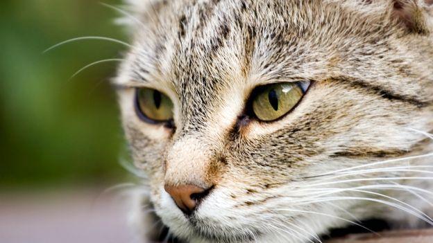 Come pulire gli occhi del gatto