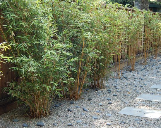9 best bamboo images on Pinterest Bamboo hedge Bamboo garden