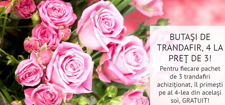 Doar acum la achiziţionarea oricărui pachet de 3 trandafiri, îl primeşti pe al 4-lea, din acelaşi soi, absolut GRATUIT! Alege varietăţile preferate din bogatul sortiment pe care îl ai la dispoziţie şi profită de această promoţie limitată! Comandă aici: https://gradinamax.ro/promotii/butasi-de-trandafiri-4-la-pret-de-3!
