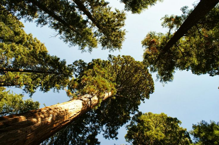 Sequoia forest, CA