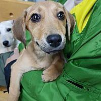 Morristown, New Jersey - Dachshund. Meet Meri, a for adoption. https://www.adoptapet.com/pet/20062164-morristown-new-jersey-dachshund-mix