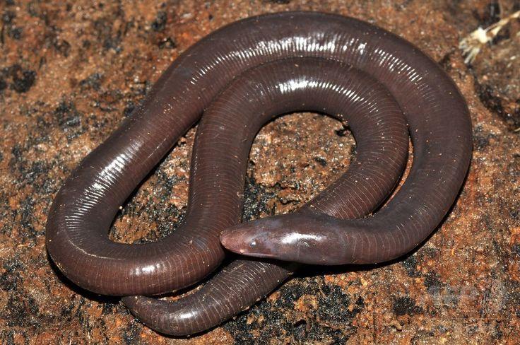 カンボジア・ポーサット(Pursat)州で発見され、最近新種と分かったアシナシイモリ(2010年9月12日撮影)。(c)AFP/Fauna and Flora International ▼17Jan2015AFP|巨大ミミズ似の両生類、新種のアシナシイモリと確認 カンボジア http://www.afpbb.com/articles/-/3036745 #Ichthyophis_cardamomensis #Caecilian #无足目 #Gymnophiona