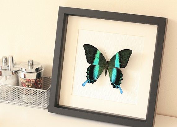 Peacock Swallowtail Framed Butterfly Museum by BugUnderGlass, $55.00