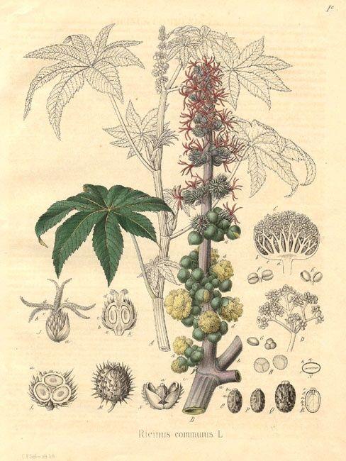 ヒマシ、 トウゴマ   caster oil plant, Ricinus communis