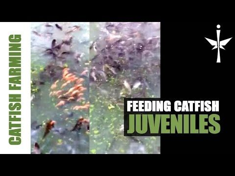 Feeding Catfish Juveniles in pond - YouTube