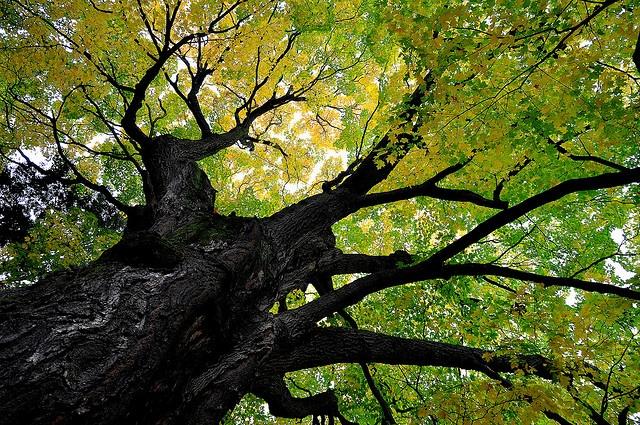 Tree at Mt. Auburn Cemetery