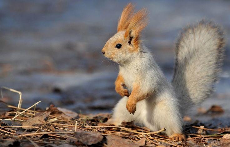 24  O veveriţă este fotografiată într-un parc din capitala Kîrgîzstanului, Bishkek, miercuri, 27 ianuarie 2013. ( Vzacheslav Oseledko / AFP )  - See more at: http://zoom.mediafax.ro/nature/animale-in-jurul-lumii-10683808#sthash.2e4sBC4U.dpuf